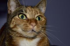 Kuzia - ältere Katze (12 y Stockfotos