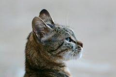 Kuzia - ältere Katze (12 y lizenzfreies stockbild