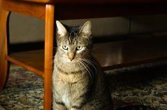 Kuzia - ältere Katze (12 y Lizenzfreie Stockbilder