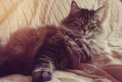 Kuzia - ältere Katze (12 y Stockfotografie