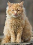 Kuzia - ältere Katze (12 y Lizenzfreies Stockfoto
