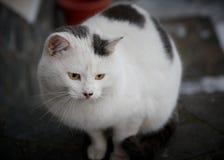 Kuzia - ältere Katze (12 y Stockbilder