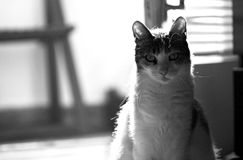Kuzia - ältere Katze (12 y Stockfoto