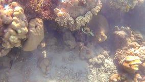 Kuzovka鱼在红色的明亮的色的珊瑚礁附近游泳 库存图片