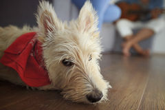 Kväva lite terriern som lägger på trägolvet Royaltyfri Foto