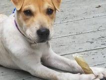 kvalitet för valpen för den höga bilden för beagleformatet var maximal som ofiltrerad rå upplösning som skjutas, unsharpen Royaltyfri Fotografi