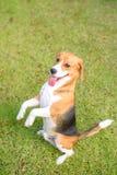 kvalitet för valpen för den höga bilden för beagleformatet var maximal som ofiltrerad rå upplösning som skjutas, unsharpen Arkivbilder
