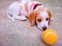 kvalitet för valpen för den höga bilden för beagleformatet var maximal som ofiltrerad rå upplösning som skjutas, unsharpen royaltyfria bilder
