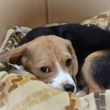 kvalitet för valpen för den höga bilden för beagleformatet var maximal som ofiltrerad rå upplösning som skjutas, unsharpen Arkivfoto