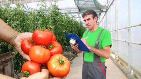 Kvalitets- kontroll av tomater i växthuset Arkivbilder