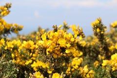Kvast i Breton hed royaltyfri fotografi