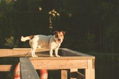 Kvick hund som balanserar på trästråle på pir Arkivbild