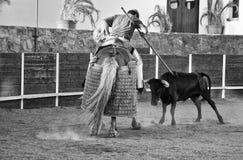 Kvigan rams lancer'sens häst Arkivbild