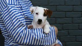 Kvinna i avriven valp för terrier för västhåll liten stock video