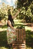 Kvinna i färgrik maxi klänning med asken med äpplen i en solig gar Arkivfoto
