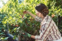 Kvinna i hennes trädgårds- bär för röd vinbär för plockning Arkivbild