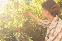 Kvinna i hennes trädgårds- bär för röd vinbär för plockning Royaltyfri Bild