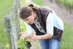 Kvinna i vingårdar som kontrollerar på vinrankor arkivfoton