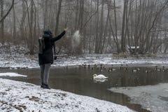 Kvinna matande sjösvanar vinter 8 för andfågelmatning arkivbilder