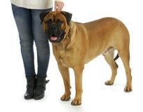 Kvinna med den stora hunden arkivbild