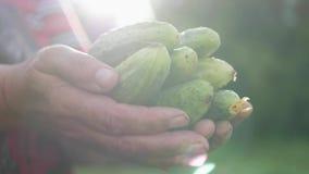 Kvinna rymma nytt sk?rdade gurkor Begreppet av organisk mat, sund näring och skörden stock video
