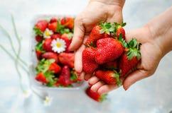 Kvinna` s räcker hållande nya mogna jordgubbar, och bär med kamomill blommar i plast- ask på blå bakgrund Royaltyfri Fotografi