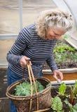 Kvinna som ansar den organiska växthusträdgården Royaltyfria Bilder