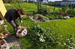 Kvinna som arbetar i en trädgård, bitande överskott ris av växter Arkivfoto