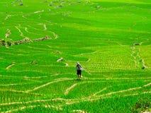 Kvinna som arbetar i ett risfältfält Royaltyfria Bilder