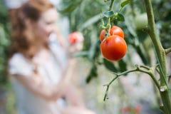 Kvinna som arbetar i ett tomatväxthus arkivbilder
