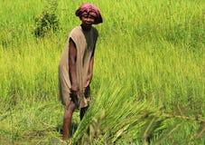 Kvinna som arbetar i risfältet i Madagascar Arkivbilder