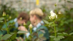 Kvinna som att bry sig för blommor i växthuset på bakgrunden av vita rosor stock video