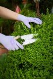 Kvinna som beskär en wood häck för topiary eller för ask i vår Royaltyfria Bilder