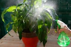 Kvinna som bevattnar houseplants med en sprejare Royaltyfri Foto