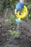 Kvinna som bevattnar plantor av nya jordgubbar på fältet Fotografering för Bildbyråer