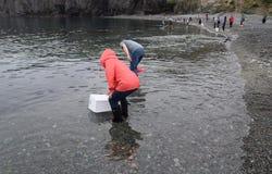Kvinna som fångar den Caplin fisken med ett netto arkivfoto