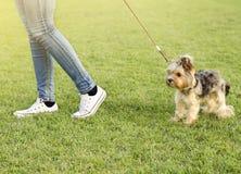 Kvinna som går den Yorkshire terriern, ingen framsida Arkivbilder