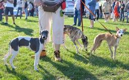 Kvinna som går på en koppel av tre hundkapplöpning på konkurrensen royaltyfria bilder