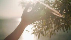 Kvinna som glider handen av grön lövverk i ultrarapid Kvinnlig hand som trycker på yttersidan av ljusa buskar i solnedgångsolen arkivfilmer