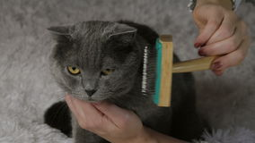 Kvinna som kammar den brittiska katten på vit bakgrund arkivfilmer