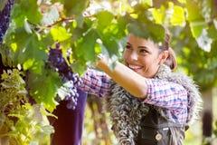 Kvinna som klipper en grupp av druvor Royaltyfri Foto