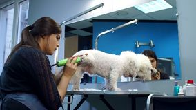 Kvinna som klipper en liten hund Bichon Friser med en elektrisk hårclipper stock video