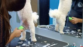 Kvinna som klipper en liten hund Bichon Friser med en elektrisk hårclipper lager videofilmer