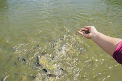 Kvinna som matar f?r fiskar i floden Matning av tilapia arkivbild
