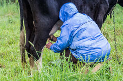 Kvinna som mjölkar kon Royaltyfri Bild