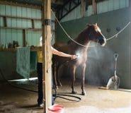 Kvinna som ner kyler den kastanjebruna hästen i en ladugård Royaltyfri Foto