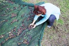Kvinna som netto samlar oliv på olivgrön plockning Royaltyfri Bild