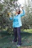 Kvinna som netto samlar oliv på olivgrön plockning Royaltyfri Foto