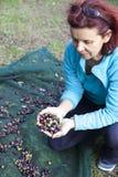 Kvinna som netto samlar oliv på olivgrön plockning Arkivbilder