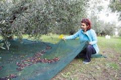 Kvinna som netto samlar oliv på olivgrön plockning Arkivbild